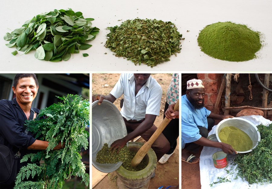 moringa seed powder for water purification pdf