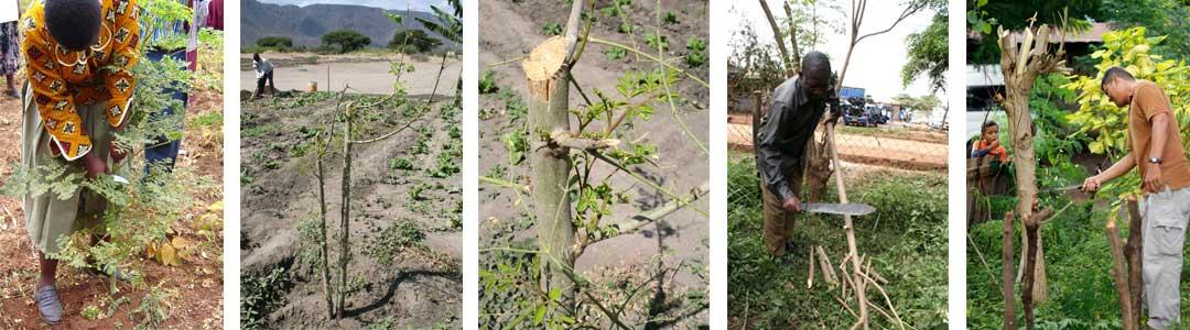 Pruning-Moringa