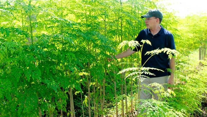 Intensive-moringa-planting
