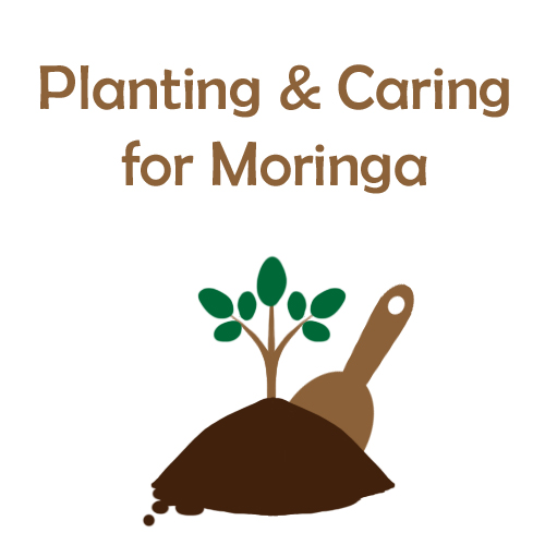 Planting and Caring for Moringa